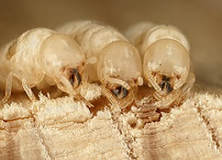 Three white termite larva
