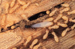Termites infecting a wood